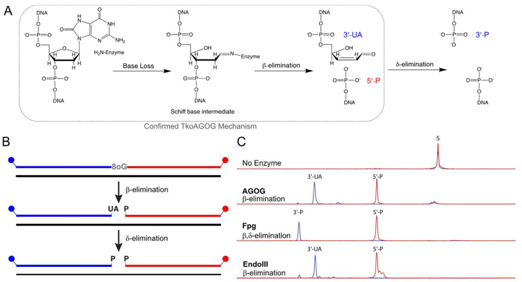 TkoAGOG is a bifunctional 8oxoG DNA glycosylase. A , Proposed enzymatic mechanism of a bifunctional 8oxoG DNA glycosylase, where 8oxoG nucleobase loss is followed by a Schiff base intermediate that undergoes β-elimination and for some DNA glycosylases such as Fpg further δ-elimination. The confirmed TkoAGOG mechanism is boxed in grey B , A 60-nt, 5'-FAM (blue), 3'-ROX (red) labeled dsDNA substrate with a centralized 8oxoG:C (or dU:G) was incubated for 30 min with either TkoAGOG at 65 °C, Fpg at 37 °C, or UDG/EndoIII at 37 °C and quenched with Formamide + EDTA, allowing for visualization of the base excision glycosylase and AP lyase activities. C , The conversion of 60-nt substrate to the 5'-FAM and 3'-ROX products after incubation with TkoAGOG, Fpg, or UDG/EndoIII.