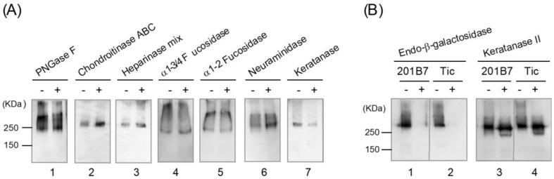 Characterization of the purified R-10G-binding protein by glycosidase digestion and Western blotting. Purified R-10G-binding protein (0.5–4 ng) incubated with (+) or without (−) glycosidases was subjected to SDS-PAGE on a 4–15% gradient polyacrylamide gel under non-reducing conditions. The exception was PNGase F digestion, which requires preheating under reducing conditions. Western blotting using R-10G was subsequently conducted. ( A ) Purified R-10G-binding protein from 201B7 cells was digested with PNGase F (lane 1), chondroitinase ABC (lane 2), a heparinase mixture (lane 3), α1-3/4 fucosidase (lane 4), α1-2 fucosidase (lane 5), neuraminidase (lane 6), and keratanase (lane 7), and the digests were analyzed by Western blotting using R-10G. ( B ) Purified R-10G-binding protein from 201B7 (lanes 1, 3) and Tic (lanes 2, 4) cells incubated with (+) or without (−) endo-β-galactosidase (lanes 1, 2) or keratanase II (lanes 3, 4) was analyzed by Western blotting using R-10G.