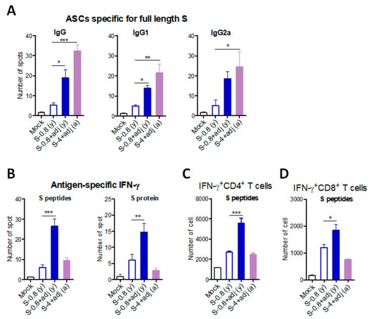 B cell and T cell immune responses to SARS-CoV-2 S vaccination in young adult and old aged mice. To determine cellular immunity, spleen cells were prepared from immunized young adult ( n = 6) and old aged mice ( n = 8). ( A ) Antibody-secreting cells (ASCs) specific for full-length S protein were determined on the ELISpot plate precoated with full-length S protein. ( B ) IFN-γ-secreting cells were analyzed by in vitro stimulation with pooled S peptides or full-length S protein using ELISpot assay. ( C , D ). IFN-γ + CD4 and IFN-γ + CD8 T cells were determined by flow cytometry after in vitro stimulation with pooled S peptides and intracellular cytokine antibi staining. S-0.8 (y): S 0.8 µg vaccination of young adult mice, S-0.8 + adj (y): S 0.8 µg + adjuvant vaccination of young adult mice, S-0.8 + adj (a): S 0.8 µg + adjuvant vaccination of old aged mice. Mock: sera from mice with adjuvant (MPL + QS-21, 1 + 10 µg) only. Statistical significance was calculated using one-way ANOVA and a Dunnett's multiple-comparison test. Error bars indicate the mean ± SEM. *; p