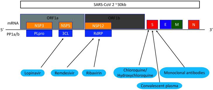 SARS-CoV-2 gene targets. Proteins are translated from the SARS-CoV-2 genome. Lopinavir targets 3CL protease produced by the ORF1a gene. Remdesivir and ribavirin targets RNA-dependent RNA polymerase (RdRp) translated from ORF1b. Chloroquine/ hydroxychloroquine, convalescent plasma and monoclonal antibodies have effects against the spike protein.