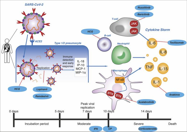 Progression to cytokine storm. Peak viral replication occurs in the initial 7-10 days and primary immune response usually occurs by day 10-14 which is followed by virus clearance [ 1 ]. Therefore, therapies appear to be most beneficial when given before 14 days of infection. Days 0-5: incubation period. SARS-CoV-2 enter cell via ACE2 receptors on human type 1/2 pneumocytes and start replicating. Hydroxychloroquine (HCQ) targets glycosylation of viral surface. Lopinavir, remdesivir targets the viral replication. Until day 10: moderate symptoms. The initial immune response produces IL-18, IP-10, MCP-1 and MIP-1α which starts to recruit specific immune cells. Interferon (IFN), HCQ and convalescent plasma (CP) is most effective. Day 10: severe infection leading to risk of mortality. Macrophages via BTK, T-cells via JAK, neutrophils and B-cells produce cytokines, resulting in a cytokine storm by day 14. Ruxolitinib, baricitinib, tocilizumab, anakinra, acalabrutinib and corticosteroids can be used [ 1 ].