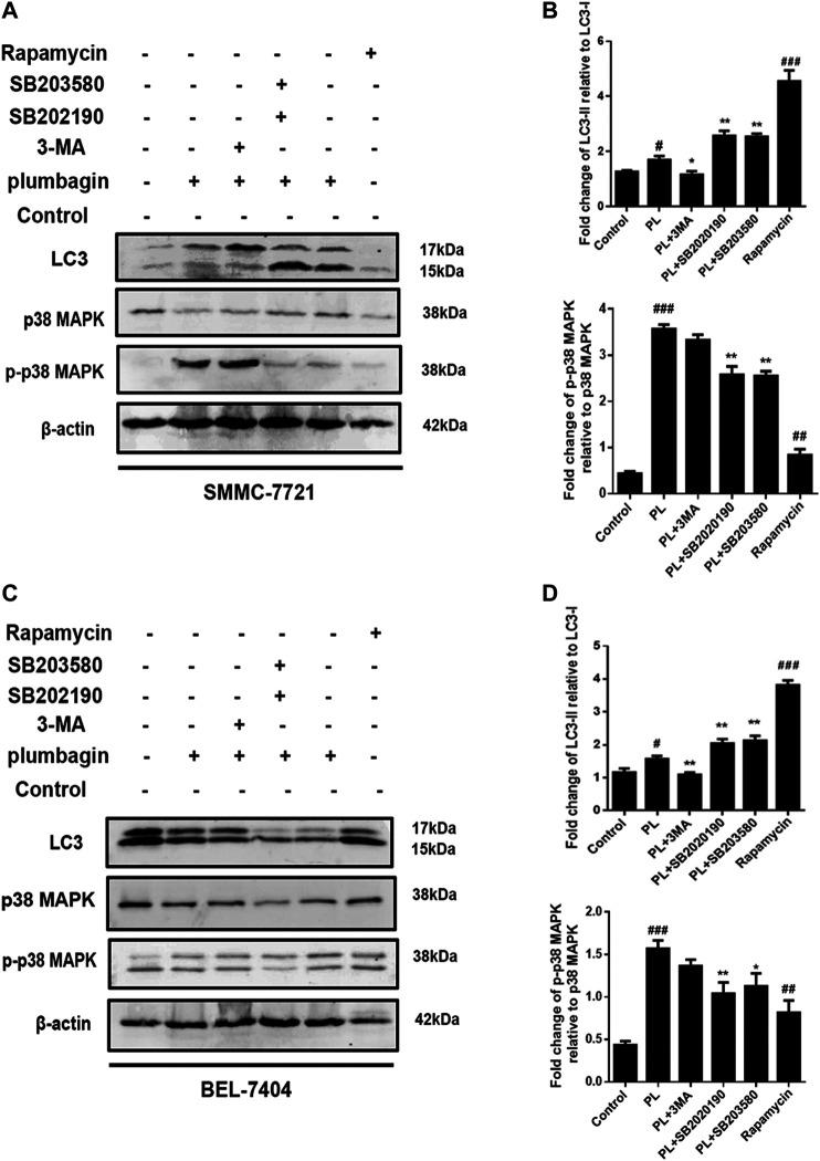 (A) Protein expression levels of LC3-I, LC3-II, p38 MAPK, and p-p38 MAPK in SMMC-7721 cells measured by Western blot after treatment with 5 μM PL, 10 μM 3-MA autophagy inhibitor, 10 μM rapamycin autophagy agonist, 10 μM SB202190, and 10 μM SB203580 p38 MAPK inhibitor. (B) LC3-I, LC3-II, p38 MAPK, and p-p38 MAPK were used as internal reference total proteins for gray value analysis. * p