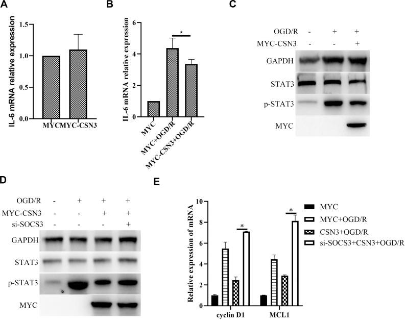CSN3 restricting OGD/R-induced STAT3 activation and inflammatory responses dependents on SOCS3. ( A ) IL6 mRNA expression was examined by qPCR in BV2 microglia transfected with pCMV3-N-Myc-CSN3. ( B ) IL6 mRNA expression was examined by qPCR in BV2 microglia transfected with pCMV3-N-Myc-CSN3 and then treated with ODG/R. ( C ) Protein expressions of STAT3 and p-STAT3 were examined by Western blot in BV2 microglia transfected with pCMV3-N-Myc-CSN3 and then treated with ODG/R. ( D ) Protein expressions of STAT3 and p-STAT3 were examined by Western blot in BV2 microglia transfected with pCMV3-N-Myc-CSN3 and si-SOCS3, and then treated with ODG/R. ( E ) mRNA expressions of Cyclin D1 and MCL1 were examined by qPCR in BV2 microglia transfected with pCMV3-N-Myc-CSN3 and si-SOCS3, and then treated with ODG/R. Data are represented as means ± SEM (n=3; *Represents P