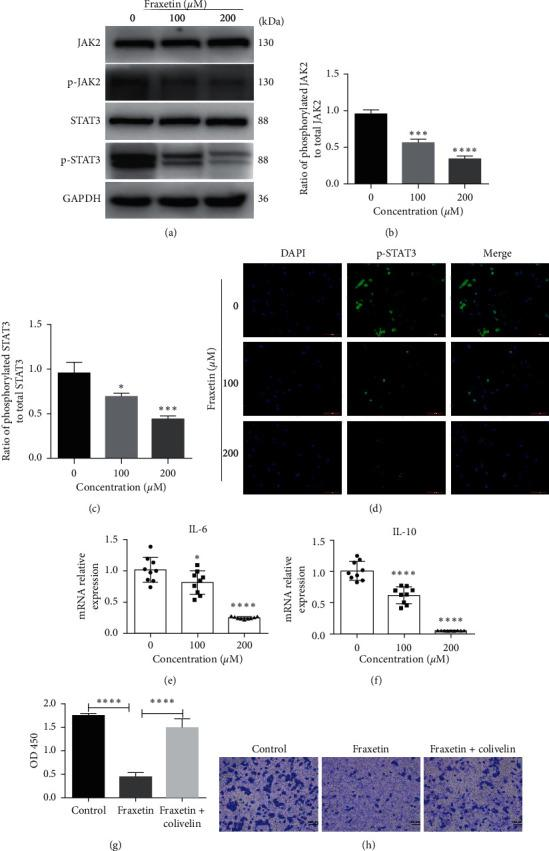 Fraxetin inhibits JAK2/STAT3 signaling in U251 cells. ((a), (b), and (c)) Western blot analysis of key proteins involved in JAK2/STAT3 signaling. Cells were treated with fraxetin (0 μ M, 100 μ M, and 200 μ M) for 24 h. (d) Immunofluorescence analysis of STAT3. Cells were treated with fraxetin (0 μ M, 100 μ M, and 200 μ M) for 24 h. ((e) and (f)) qRT-PCR analysis of IL-6 and IL-10. Cells were treated with fraxetin (0 μ M, 100 μ M, and 200 μ M) for 24 h. (g) CCK8 assay. Cells were treated with fraxetin (200 μ M) and Colivelin (10 μ M) together or fraxetin (200 μ M) alone for 24 h. (h) Transwell invasive assay. Cells were treated with fraxetin (200 μ M) and Colivelin (10 μ M) together or fraxetin (200 μ M) alone for 24 h. ∗ P