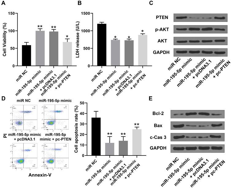 Overexpression of miR-195-5p improved I/R injury in vitro by regulating the PTEN-AKT signaling pathway. HBMVECs were transfected with miR-195-5p mimics, or co-transfected with miR-195-5p mimics and pc-PTEN, and then induced by 2 h of OGD followed by 24 h of re-oxygenation. ( A ) Cell viability was evaluated by CCK-8 assay. ( B ) The release of LDH was detected by specific cytotoxicity assay kit. ( C ) The expression of PTEN, AKT and p-AKT was detected by Western blot. ( D ) Cell apoptosis was evaluated by flow cytometer. ( E ) The protein expression of apoptosis-related makers was detected by Western blot. Data were presented as means ± SD. * p