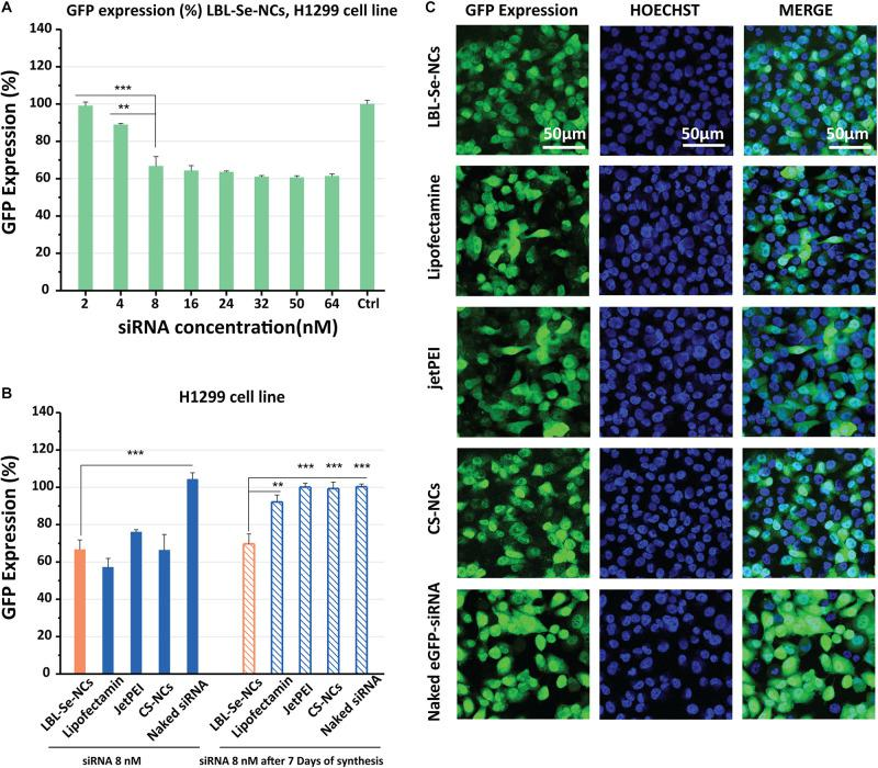 In vitro knockdown efficiency of LBL-Se-NCs. (A) GFP expression (%) of H1299 cells treated with LBL-Se-NCs as a function of siRNA concentration. (B) Comparison of the GFP expression level on H1299 cells after treatment with LBL-Se-NCs, Lipofectamine, jetPEI, CS-NCs, and naked siRNA, all at 8 nM effective siRNA concentration, for both freshly synthesized and 7-day-old nanocomplexes . (C) Confocal images of intracellular GFP knockdown of LBL-Se-NCs and control groups on H1299 cells. The scale bar corresponds to 50 μm. Data are presented as mean values ± SD ( n = 3, * p
