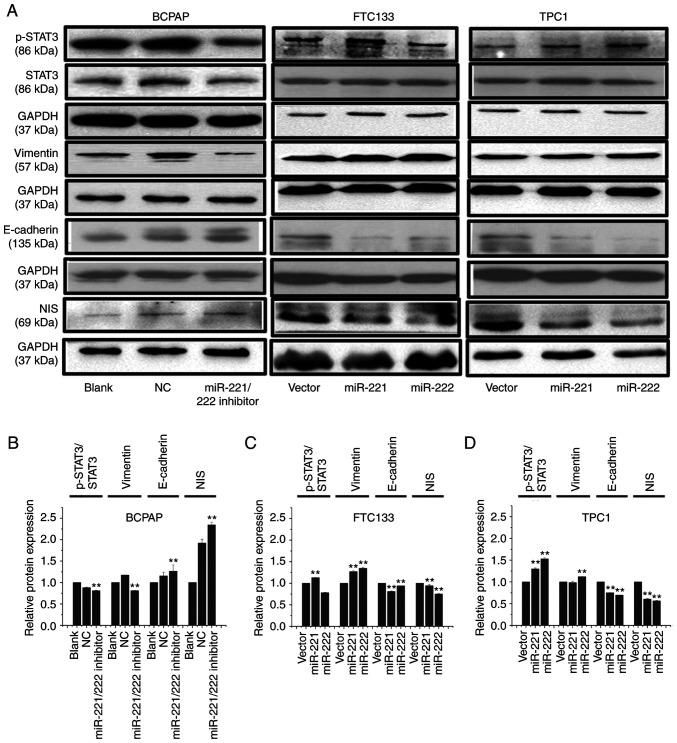 miR-221-3p and miR-222-3p upregulate the protein expression levels of p-STAT3 and vimentin and downregulate the expression of NIS and E-cadherin. (A) BCPAP cells were transfected with miR-221-3p, miR-222-3p inhibitor and NC. FTC133 and TPC1 cells were infected with GFP-miR-221-3p, GFP-miR-222-3p or GFP lentiviral vectors. Western blotting was used to analyze the expression levels of p-STAT3, STAT3, vimentin, E-cadherin and NIS. Grouping of BCPAP images from different gels than those of FTC133 and TPC1. Grouping of FTC133 and TPC1 images from different parts of the same gel. Bands of p-STAT3 and STAT3 from different gels. (B-D) Relative expression levels of p-STAT3/STAT3, vimentin/GAPDH, E-cadherin/GAPDH and NIS/GAPDH were analyzed using ImageJ 7.0 software in each cell model. Each band was measured in triplicate. ** P