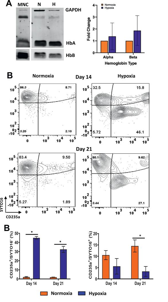 Hypoxia promotes enucleation of erythroid cells. (A) Immunoblotting of α - and β -hemoglobin expression in CD34 + cell cultures incubated in normoxia or hypoxia and in cord blood-derived mononuclear cells (MNCs). Average protein expression (§SE, n = 3) normalized to GAPDH is illustrated. (B) Enucleation was determined by SYTO16 staining. Contour plots for CD235a + and SYTO16 + cells in cultures incubated in hypoxia or normoxia. (C) Percentages of enucleated (CD235a + /SYTO16 − ) and nucleated (CD235a + /SYTO16 + ) erythroid cells in the CD34 − /Live population on days 14 and 21 are represented as the mean with standard error ( n = 4). Statistical analysis was performed using the Mann-Whitney test, and p values ≤ 0.05 were considered significant. * p