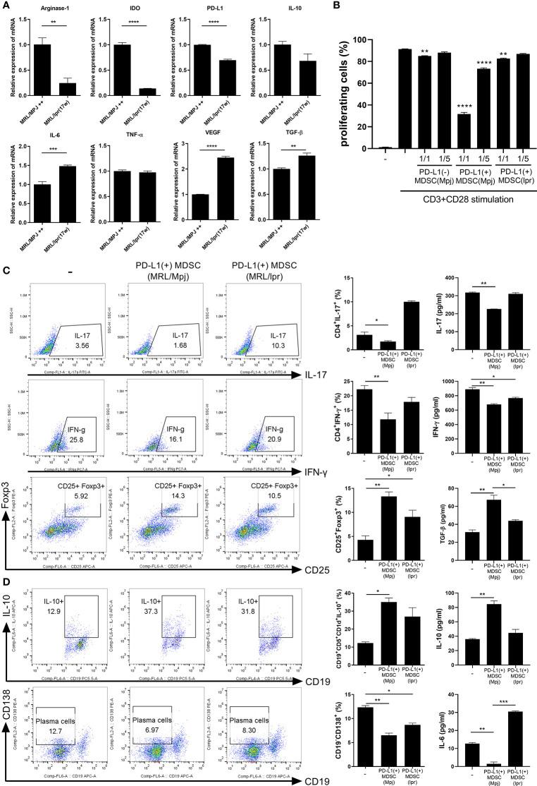 PD-L1 expressing MDSCs from control mice shows more powerful immune regulatory activity in vitro . (A) PD-L1 positive MDSCs from lupus prone MRL/ lpr mice and MLR/MpJ (control mice) were isolated. The mRNA levels of pro or anti-inflammatory molecules were determined. (B) CD4+ T cells (5 × 10 5 ) from MLR/ lpr mice were labeled with Cell trace violet, and cultured with/without PD-L1 positive or negative MDSCs (1:1, 5:1 ratio). The percentage of proliferating CD4+ cells were analyzed. (C) CD4+ T cells from MLR/ lpr mice were cultured with PD-L1 positive MDSCs from MRL/ lpr mice and MLR/MpJ (1:1 ratio) in the presence of anti-CD3 (0.5 μ/ml). After 3 days, cells were analyzed for Th17, Th1 and Treg cells by flow cytometry. The percentage of each cell population are shown in the right panel. The concentrations of IL-17, IFN- γ and TGF-β in supernatant were measured by ELISA. (D) Splenocytes from MLR/ lpr mice were cultured with PD-L1 positive MDSCs (1:1 ratio) in the presence of LPS (100 ng/ml). After 3 days, cells were analyzed for IL-10 producing B10 cells and plasma cells (CD19-CD138+) by flow cytometry. The percentage of each cell population are shown in the right panel. The concentrations of IL-10 and IL-6 in supernatant were measured. Data are expressed as the mean ± SEM. Data are representative of three independent experiments (* P
