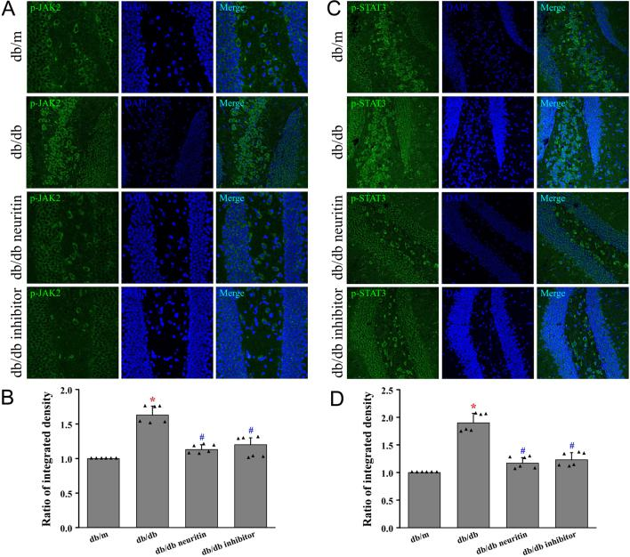 Neuritin suppressed JAK2/STAT3 signaling pathway in the hippocampus. Phosphorylation level of JAK2 was measured using immunofluorescence in hippocampus (A) and its quantification of fluorescence integrated intensity (B). Phosphorylation level of STAT3 was measured using immunofluorescence (C) and its quantification of fluorescence integrated intensity (D). Mean ± s.d. , n = 6. * P