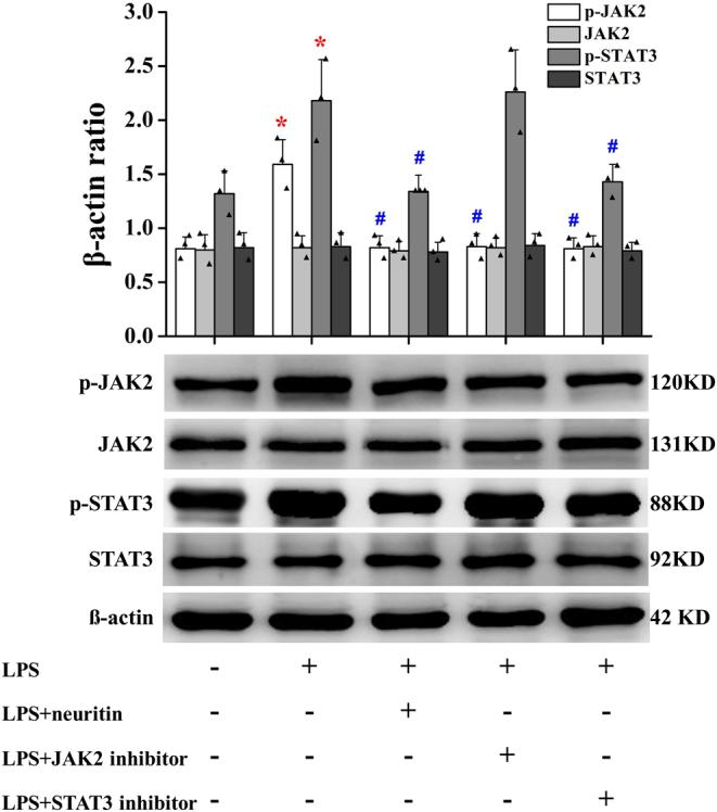 Neuritin inhibits JAK2/STAT3 signaling pathway in U-118MG cells. Data are given as mean ± s.d. ( n = 3). * P