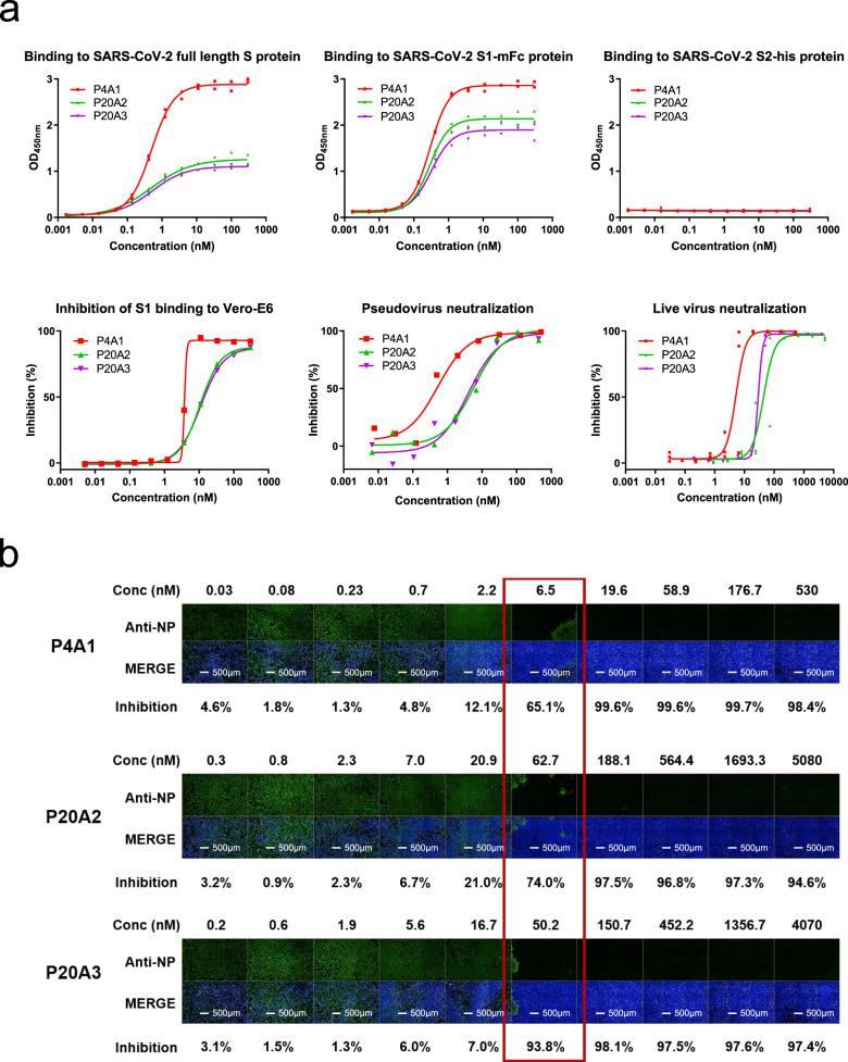 Characterization of neutralizing antibodies from convalescent patients. a Characterization of SARS-CoV-2 S protein-specific antibodies. Upper panels: binding of antibodies to the full-length S protein, S1 protein, and S2 protein was evaluated by ELISA (in duplicates with symbols show each of the replicates). Lower left panel: blockage of the binding of SARS-CoV-2 Spike S1 protein to Vero E6 cells by antibodies evaluated by flow cytometry (data in singleton). Lower middle panel: pseudovirus neutralization assay in Huh-7 cells (data in singleton). Lower right panel: in triplicates with symbols show each of the triplicates and SARS-CoV-2 live virus neutralization assay. All experiments were repeated at least two more times (except S2 binding that was repeated one more time) with similar results. b Images of Vero E6 cell-infected SARS-CoV-2 treated with antibodies of different concentrations. Green (stained with SARS-CoV-2 nucleocapsid protein (NP) antibody) indicates viral infected cells and blue (Hoechst 33258) represents cell nuclei. Experiment was performed in triplicates and repeated two more times with similar results.