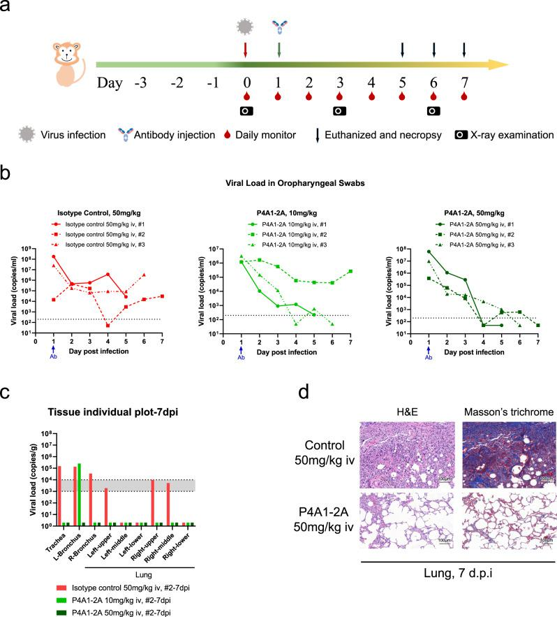 Therapeutic efficacy of in the rhesus macaque model of SARS-CoV-2 infection. a Experimental design for therapeutic testing of P4A1–2A in the rhesus macaque ( n = 3/group). b Viral load in oropharyngeal swabs tested by RT-qPCR was monitored for 7 days. c Viral load in the respiratory tissues (including trachea, left and right bronchus, and all six lung lobes) collected at necropsy on 7 days post infection (d.p.i., n = 1/group) was tested by RT-qPCR. d Representative images of histopathology in lung tissue from isotype control or P4A1–2A 50 mg/kg treated animals (collected at 7 d.p.i., n = 1/group).