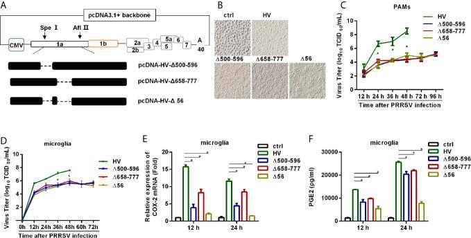 HP-PRRSV with deletion mutant NSP2 impairs PGE2 production.  (A)  Strategy for the construction of the recombinant cDNA clone. The plasmid containing assembled genome of HV (pcDNA3.1-HV) was treated with Spe I and Afl II to get 439-6478 bp of the HV deleted mutant pcDNA3.1-HV [pcDNA3.1-HV (Δ439-6478)], and then the Q5 ®  Site-Directed Mutagenesis Kit was used to generated deleted mutations. Finally, using HiFi DNA Assembly Master Mix, pcDNA-HV-Δ500-596 [Δ500-596], pcDNA-HV-Δ658-777 [Δ658-777], and pcDNA-HV-Δ500-596/658-777 [Δ56]) were constructed.  (B)  Representative images of cytopathic effects induced by wt HP-PRRSV strain HV and the mutant viruses at 48 hours post-infection.  (C, D)  Supernatants were collected at indicated times post virus infection, and titrated for viruses using TCID 50  method.  (E, F)  Microglia were infected with HP-PRRSV strain HV and the mutant viruses at an MOI of 0.1. COX-2 expression was analyzed by real-time PCR  (E)  and PGE2 production was measured by ELISA  (F)  at 12 and 24 hours post-infection. Data are representative of three independent experiments (mean ± SEM). Statistical analysis was performed by Student's  t -test. *,  P