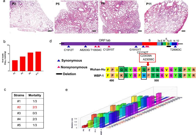 Generation of mouse-adapted SARS-CoV-2 WBP-1. Wild type (WT) Wuhan-Hu-1 was passaged in old and young mice to obtain WBP-1 that was adapted to cause respiratory disease in mice. (a) Hematoxylin and eosin (H E) staining of lung sections from mice infected with virus obtained through different passages (P2, P5, P8, P11) of SARS-CoV-2. Scale bars, 100 μm. (b) Viral copies were detected through qRT-PCR at three days post infection (dpi) in the lungs. (c) Five clonal isolates were obtained from the P11 virus pool by three rounds of plaque purification in Vero cells. The strain #2 that showed a high mortality rate in mice was defined as WBP-1. (d) Location of the mutations and deletion in the genome of WBP-1. WBP-1 obtained five synonymous (purple triangles), five nonsynonymous (red triangles), and a 740 bp deletion (black line). (e) Mutational frequency during SARS-CoV-2 experimental passage in pooled mouse groups. Single nucleotide variants are represented along the genome for the mice of passage 5, passage 8, passage 11 and WBP-1 virus.
