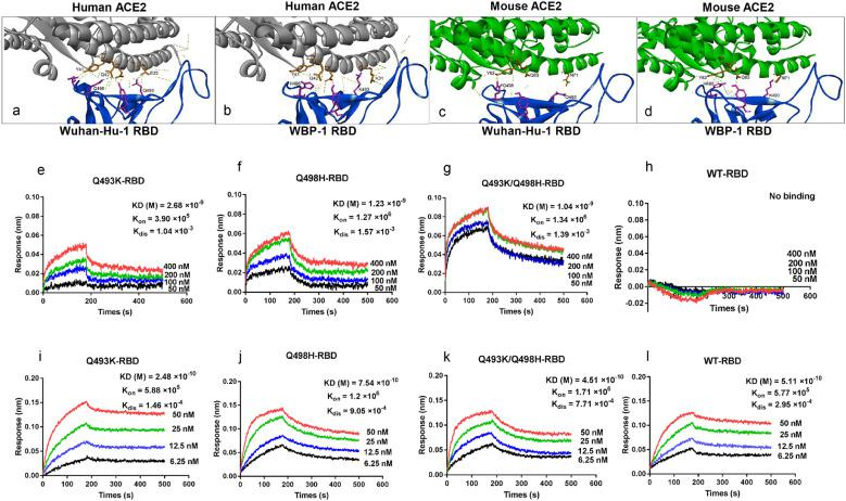 Mouse-adapted WBP-1 virus RBD enhance interactive affinities with mACE2. (a-d) Modelling of <t>SARS-CoV-2</t> RBD–ACE2 interface. (a) Wuhan-Hu-1 RBD interacts with of human ACE2. (b) WBP-1 RBD (Q493K/Q498H-RBD) interacts human ACE2. (c) Modelling of Wuhan-Hu-1 RBD and mouse ACE2. (d) Modelling of WBP-1 RBD (Q493K/Q498H-RBD) shows interaction with mouse ACE2. (e-l) The binding affinities of the RBD of WBP-1 and mACE2 or hACE2 were determined through BLI experiments. The sensors were dipped in mACE2-hFC and functionalized sensorgrams captured upon incubation of Q493K-RBD (e), Q498H-RBD (f), Q493K/Q498H-RBD (g), and WT-RBD (h) at 6.25 (black), 12.5 (blue), 25 (green), and 50 nM (red). The sensors were dipped in hACE2-hFC and functionalized sensorgrams captured upon incubation of Q493K-RBD (i), Q498H-RBD (j), Q493K/Q498H-RBD (k), and WT-RBD (l) at 50 (black), 100 (blue), 200 (green), and 400 nM (red).