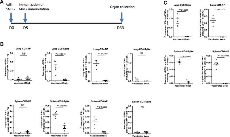 T cell response to Ca-DelMut immunization in Ad5-hACE2 transduced mice. A Timeline of Ad5-hACE2 transduction and immunization of Ad5-hACE2 transduced mice with Ca-DelMut. B Ca-DelMut induces IFN-γ positive CD4 + and CD8 + T cell responses in Ad5-hACE2 transduced mice. Four weeks after immunization, splenocytes and lung cells were obtained and stimulated with either spike or NP peptide pools or incubated without peptides overnight in the presence of BFA. Surface markers were stained, and cells fixed and permeabilized. Intracellular cytokines were then stained with antibodies. Sample data were acquired using a BD FACSAria III cell sorter. IFN-γ + CD4 + and CD8T cells in immunized ( n = 5) and naive groups ( n = 4) were compared. Statistical comparisons between means were performed by Student's t -test (2-tailed): **** p