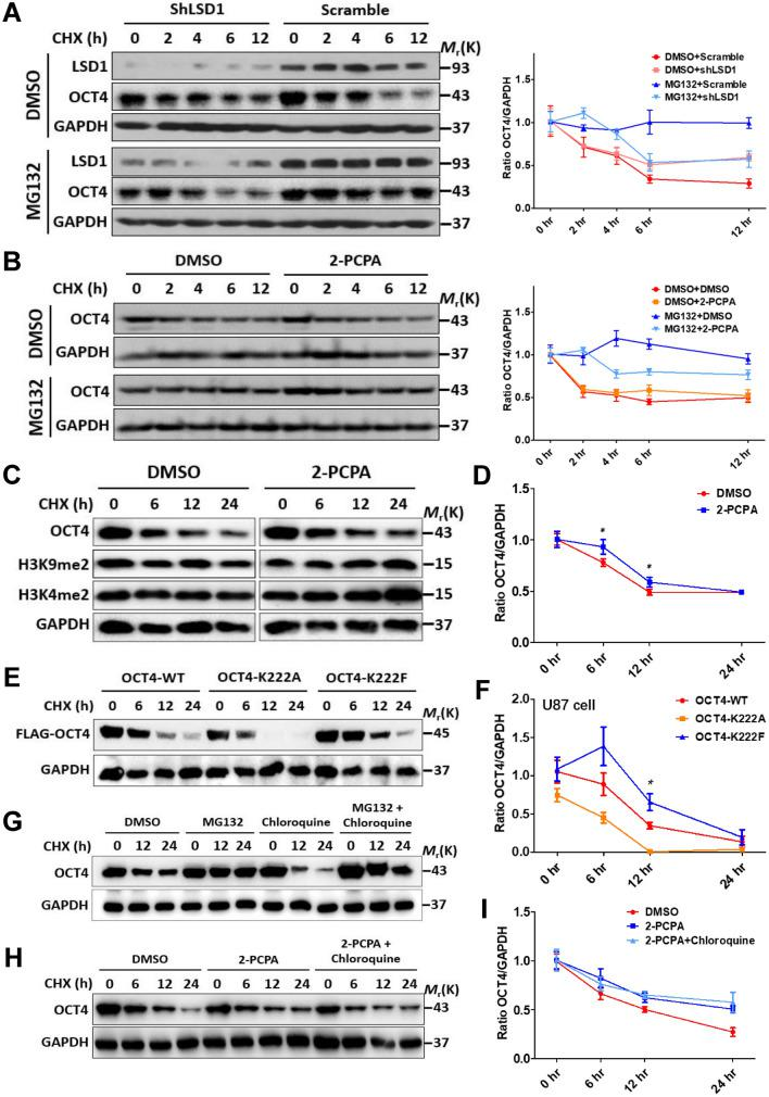 K222 methylation promotes proteasome-independent degradation of OCT4. ( A ) NCCIT cells were infected with LSD1 shRNA lentiviruses. After 96 h, cells were pre-treated with 5 μM MG-132 or vehicle for 1 h, followed by addition of 20 μg/ml CHX and further incubation for 0 to 12 h in the presence of MG-132. Whole cell lysates were immunoblotted with the indicated antibodies. The curves represented quantitation of the OCT4 protein levels. ( B ) NCCIT cells were pre-treated with 100 μM 2-PCPA and 5 μM MG-132 for 1 h and followed by the same steps as described in ( A ). ( C ) NCCIT cells pre-treated with DMSO (left panels) or 2-PCPA (right panels) were exposed to CHX for 0 to 24 h, the whole cell lysates were immunoblotted with the indicated antibodies, and the OCT4 protein levels were quantified in ( D ). ( E ) U87 cells were transfected with the shOCT4-FLAG-OCT4 plasmids (WT and variants). After 72 h, they were treated with 20 μg/ml CHX for 0 to 24 h, the whole cell lysates were immunoblotted with the indicated antibodies, and the OCT4 protein levels were quantified in ( F ). ( G ) NCCIT cells were pre-treated with 5 μM MG-132 or 200 μM chloroquine singly or in combination for 1 h followed by addition of 20 μg/ml CHX and further incubation for 0–24 h. Whole cell lysates were immunoblotted with the indicated antibodies. (H) NCCIT cells were pre-treated with 100 μM 2-PCPA alone or in combination with 200 μM chloroquine for 1 h followed by addition of 20 μg/ml CHX and further incubation for 0 to 24 h. Whole cell lysates were immunoblotted with the indicated antibodies, and the OCT4 protein levels were quantified in ( I ). Results shown in ( D ) and ( F ) were presented as means ± S.D. of triplicate measurements from single experiment representative of 3 independent experiments. Two-tailed unpaired Student's t tests were used for statistical analyses. *P