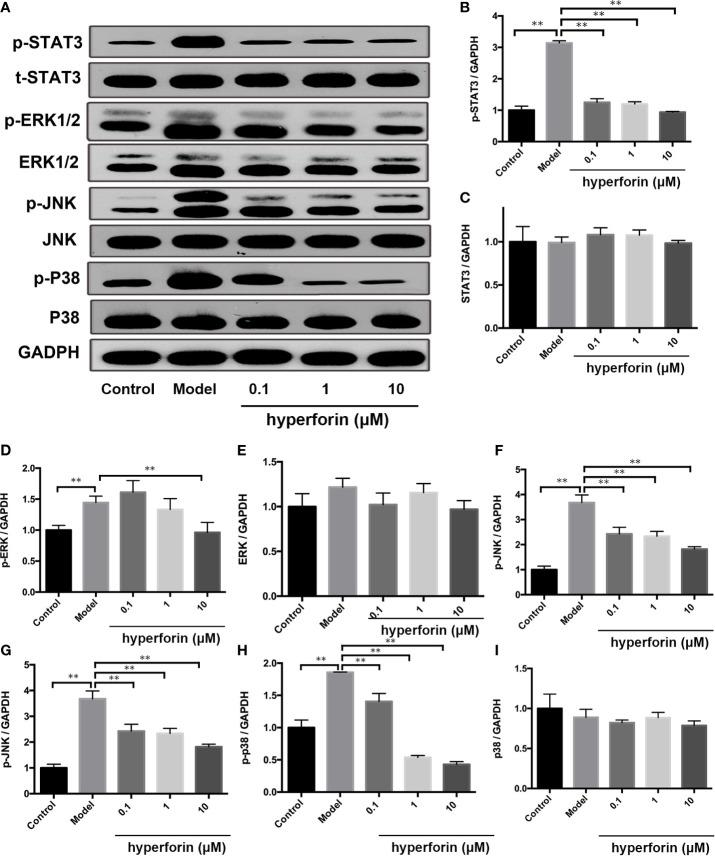 Hyperforin inhibits phosphorylation of MAPK and STAT3 pathway components in in vitro cultured γδ T cells. (A) Representative images of Western blot. (B–I) quantification of the Western blot data by densitometric analysis and normalization to GAPDH (n = 3 independent experiments). **P