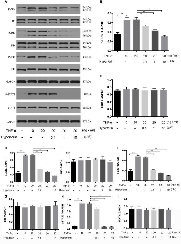 Hyperforin inhibits phosphorylation of MAPK and STAT3 pathway components induced by TNF-α in HaCaT cells. HaCaT cells were pretreated with different doses of hyperforin, and stimulated with TNF-α. The total protein was extracted from the cells and associated protein expression was determined via western blotting (A) . The quantification data are shown in the right panel (B–I) . (n = 3 independent experiments). **P