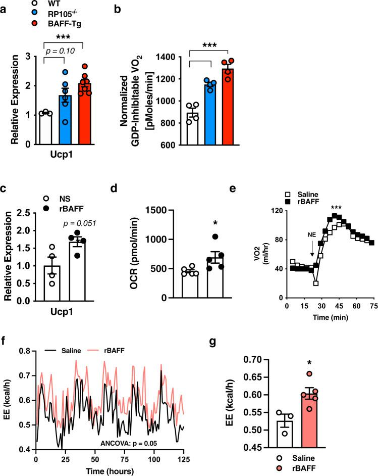 BAFF modifies brown adipose adaptive thermogenesis. a – b WT, RP105 −/− , or BAFF-Tg mice were fed HFD for 20 weeks. a BAT Ucp1 mRNA expression quantified by qPCR. b BAT mitochondria oxygen consumption. c – d Brown adipocytes were treated with saline (NS) or rBAFF (500 ng/ml) for 6 hours. c Ucp1 mRNA expression quantified by qPCR, relative expression to NS. d Oxygen consumption rate (OCR). e Oxygen consumption of WT mice treated with saline (NS) or rBAFF (2 μg/mouse) for 24 hours prior to norepinephrine (NE; 1 mg/kg) challenge. f – g Obese WT mice treated with rBAFF (2 μg/mouse) every other day for 1 week and monitored in TSE Phenomaster. f Monitoring of energy expenditure over 5 days. g Bar graph of combined energy expenditure. a – b Representative of n = 3–6/condition. c – d Representative of three independent experiments, n = 4–5/condition. e Representative of two independent experiments, n = 3–4/condition. f – g A single experiment, n = 3–5/condition. a – g For bar and line graphs, data represents mean±SEM. a – d Unpaired two-tailed Student's t test. e Area under the curve. f – g analysis of covariance (ANCOVA) with body weight as covariate. * p