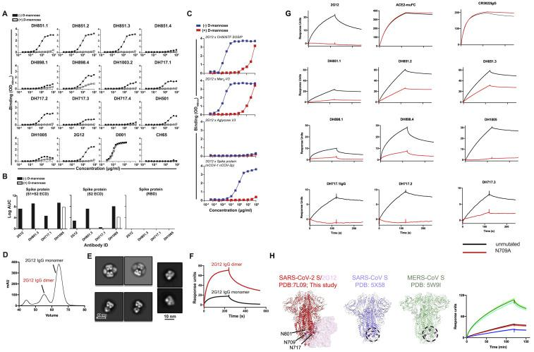 Characterization of glycan-dependent binding of FDG Abs to recombinant SARS-CoV-2 spike protein, related to Figure 6 (A) FDG, SARS-CoV-1 RBD (D001), and influenza HA (CH65) mAbs were tested in ELISA for binding to recombinant SARS-CoV-2 Spike (S) protein. mAb binding was assessed in the absence (-) or presence (+) of D-mannose [1M] to determine if free high mannose can outcompete glycans on the S protein for binding. Binding Ab titers reported as Log AUC were shown in Figure 1 . (B) FDG mAbs were tested in ELISA for binding to a set of commercially available constructs expressing the SARS-CoV-2 S1 and S2 extracellular domain (left), S2 domain (middle), and the receptor binding domain (right). Black and white bars show binding in the absence and presence of D-mannose [1M], respectively. Binding Ab titers were reported Log AUC. (C) We tested 2G12 mAb for binding to (from top to bottom) soluble stabilized recombinant HIV-1 Env trimer (CH505TF SOSIP), Man 9 -V3 and non-glycosylated aglycone V3 peptide, and recombinant SARS-CoV-2 spike ectodomain. HIV-1 CH505TF SOSIP was captured using mouse anti-AVI-tag mAb, whereas SARS-CoV-2 ectodomain and peptides (Man 9 -V3 and Aglycone) were captured using streptavidin. Blue and red symbols indicated binding in the absence and presence of D-mannose [1M], respectively. Binding was measured at OD 450nm . All ELISAs (A-C) were done using BSA-based buffers (see STAR Methods ). Data shown are from a representative assay. (D) Size-exclusion chromatogram of protein A affinity purified 2G12 IgG. (E) NSEM 2D class averages of (top) 2G12 IgG dimer, (bottom) 2G12 IgG monomer and (right) 2G12 Fab obtained by digesting 2G12 IgG monomer with papain. (F) SPR sensorgrams showing binding of 2G12 IgG dimer (red line) and 2G12 IgG monomer (black line) to the SARS-CoV-2 S protein. (G) We tested FDG mAbs for binding to the unmutated SARS-CoV-2 S and the N709-glycan deleted variant. Binding was assessed by SPR by capturing the unmutated spike and the N7