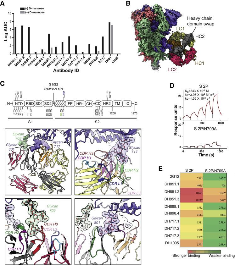 Glycan-dependent binding of FDG Abs to recombinant SARS-CoV-2 spike (A) FDG mAbs were tested for binding recombinant SARS-CoV-2 Spike (S) in ELISA. Ab binding was assessed in the absence (−) or presence (+) of 1M D-mannose. Binding Ab titers were reported as Log AUC. Controls were SARS-CoV-1 RBD (D001) and influenza HA (CH65) reactive mAbs. Data shown are from a representative assay. (B) Cryo-EM reconstruction of 2G12 in complex with recombinant SARS-CoV-2 S. The cryo-EM map was colored by chain. SARS-CoV-2 S chains were colored salmon, green, and blue. The 2G12 chains are colored dark gray and orange for the heavy chains (HC), and yellow and dark pink for the light chains (LC). (C) Top: schematic showing domain organization of SARS-CoV-2 S, with positions of N-linked glycosylation sequons numbered and shown as branches. Bottom: zoomed-in view of domain-swapped, dimerized 2G12 Fab interacting with SARS-CoV-2 S. The structure was colored by chain as in (B), with 2G12 and SARS-CoV-2 S shown in cartoon representation and the interacting glycans in surface representation. (D) Binding of 2G12 Fab dimer to (top) unmutated and (bottom) N709A mutant recombinant S proteins, measured by SPR using single-cycle kinetics. The black lines show the data and the red lines show the fit of the data to a 1:1 Langmuir binding model. (E) Binding of the unmutated and N709A mutant S proteins to a panel of FDG Abs measured by SPR; data shown as a heatmap for Log AUC binding. See also Figures S6 and S7 and Data S4 .