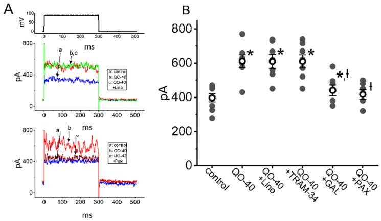 Effects of linopirdine, TRAM-34, GAL-021, and paxilline on QO-40-stimulated I K(Ca) in GH 3 cells. In this set of experiments, whole-cell current recordings were undertaken in cells bathed in normal Tyrode's solution, and the pipet was backfilled with K + -containing internal solution. ( A ) Representative I K(Ca) traces in the absence (a, blue color) and presence of either QO-40 (b, red color), QO-40 plus linopirdine (c, upper panel, green color), or QO-40 plus paxilline (c, lower panel, brown color). The uppermost part shows the voltage-clamp protocol used. ( B ) Vertical scatter graph showing effects of linopirdine, TRAM-34, GAL-021, or paxilline on QO-40-induced stimulation of I K(Ca) (mean ± SEM; n = 6–8 for each point). QO-40: 3 μM QO-40; Lino: 10 μM linopirdine; TRAM-34: 3 μM TRAM-34; GAL-021: 3 μM GAL-021; Pax: 1 μM paxilline. Data analysis was performed by ANOVA-1 ( p