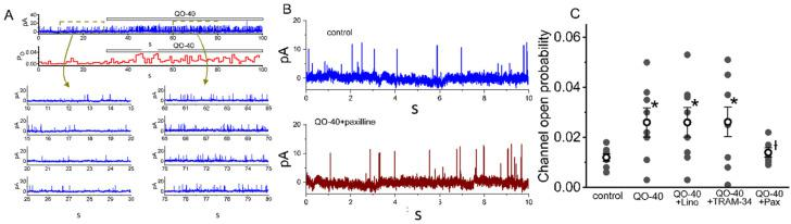 Stimulatory effect of QO-40 on the large-conductance Ca 2+ -activated K + (BK Ca ) channels identified in GH 3 cells. The single-channel experiments in an excised inside-out membrane patch were undertaken with symmetrical K + concentration (145 mM). The bath medium contained 0.1 μM Ca 2+ , and we kept the patch in voltage clamp at the level of +60 mV. ( A ) Representative current trace (upper, blue color) and the open probability (lower, red color) showing changes in the activity of BK Ca channels after addition of QO-40 (3 μM). Channel openings are indicated as upward deflections, and the horizontal bar shown above either current tracings or time course of single open probability corresponds to the application of QO-40 to the bath. The lower parts in ( A ) depict expanded records obtained from the dashed boxes in the uppermost part. Current traces in the left or right side indicate the absence or presence of 3 μM QO-40, respectively. Note that the presence of QO-40 leads to an increase in channel open-state probability of BK Ca channels. ( B ) BK Ca -channel activity obtained in the control period (i.e., neither QO-40 nor paxilline was present) (upper) and QO-40 (3 μM) plus paxilline (1 μM) (lower). In the experiments on QO-40 plus paxilline, paxilline (1 μM) was further added, as patch was continually exposed to QO-40 (3 μM). ( C ) Vertical scatter graph showing effects of QO-40, QO-40 plus TRAM-34, QO-40 plus linopirdine, or QO-40 plus paxilline on channel open-state probability of BK Ca channels (mean ± SEM; n = 8 for each point). Lino: 10 μM linopirdine; TRAM-34: 3 μM TRAM-34; Pax: 1 μM paxilline. Data analysis was performed by ANOVA-1 ( p