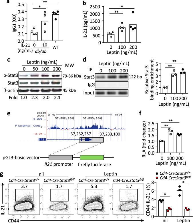 Leptin promotes IL-21 production in a STAT3-dependent manner. a B220 - CD4 + CD25 - CD44 + CD62L - CXCR5 + PD-1 + T FH cells (1 × 10 5 ) and B220 + Fas + GL-7 + GC B cells (1 × 10 5 ) from 4-Hydroxy-3-nitrophenylacetyl hapten conjugated to ovalbumin (NP-OVA) immunized WT and db/db mice (9 dpi) were co-cultured with 5 µg/mL NP-OVA for 9 days. In the db/db T FH :WT B-cell culture, IL-21 (10 ng/mL) was added. Anti-NP IgG1 titers in the supernatant were measured by ELISA (IL-21_10 ng/mL: * P = 0.0403, WT: ** P = 0.0033). b ELISA measurement of IL-21 in cultured naive CD4 + T cells from WT mice with anti-CD3/CD28 and leptin (0-200 ng/mL) stimulation for 3 days (100 ng/mL: ** P = 0.0100, 200 ng/mL: ** P = 0.0441). c Western blot showing Stat3 phosphorylation (p-Stat3) in WT naive CD4 + T cells stimulated with 200 ng/mL leptin for 2 h. Values showing the fold changes relative to the non-treated control. d Binding of Stat3 to the Il21 promoter. Stat3-ChIP assays were performed on WT naive CD4 + T cells treated with 200 ng/mL leptin for 3 h. Results showing PCR products (left) and values for the fold changes in ChIP enrichment relative to non-treated control (right) (100 ng/mL: ** P = 0.0096, 200 ng/mL: ** P = 0.0043). e Schematic of Il21 promoter construction and luciferase assay. f The transcriptional activity of the Il21 promoter. Dual-Luciferase reporter assay for the Il21 promoter in 293 T cells with 200 ng/mL leptin treatment for 12 h (100 ng/mL: ** P = 0.0082, 200 ng/mL: ** P = 0.0016). g Cd4-Cre : Stat3 +/+ or Cd4-Cre : Stat3 fl/fl naive CD4 + T cells were stimulated under IL-21-inducing conditions with 200 ng/mL leptin for 3 days. Results for IL-21 secretion showing representative FACS plots (left) and statistics (right) (nil: * P = 0.0111, Leptin: * P = 0.0144). Data are shown for individuals (dots) and mean (bars) values, and analysed by two-way ANOVA ( a ) one-way ANOVA ( b , d , f ) or Mann–Whitney U-test ( g ). * P