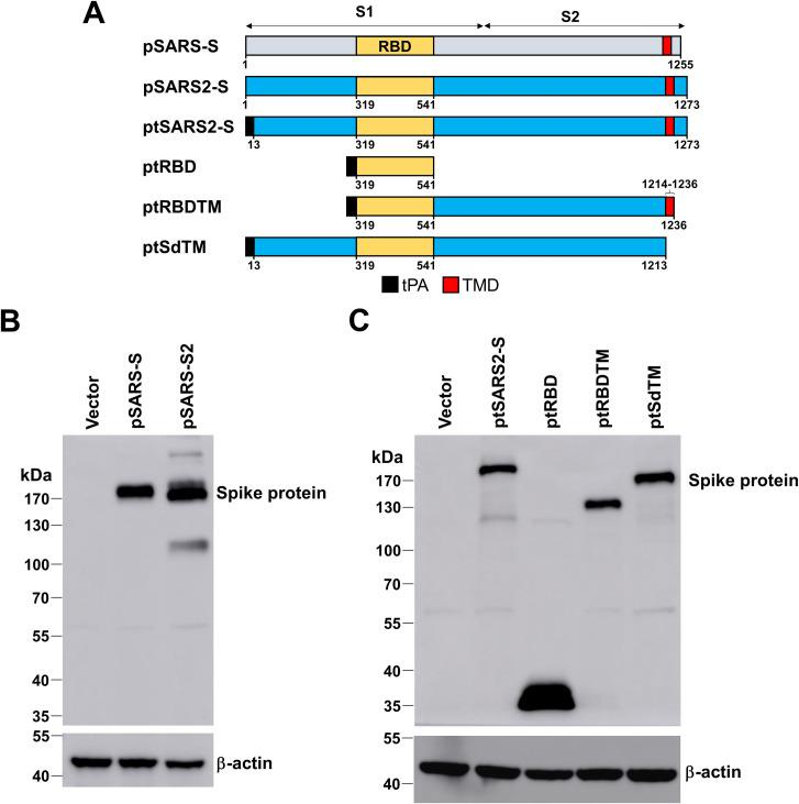 Design and expression of SARS-CoV and SARS-CoV-2 spike construct variants. (A) Schematic diagram of SARS-CoV and SARS-CoV-2 spike construct variants. tPA, leader sequence from tissue-plasminogen activator; TM, transmembrane domain. (B, C) Western blot analysis of spike protein. HEK293T cells were transfected with the indicated plasmids (vector, pSARS-S, pSARS2-S, and S variants fused with tPA leader sequence). The cell lysates were collected and probed with anti-Spike antibody, and anti-β-actin antibody was used as an internal control.