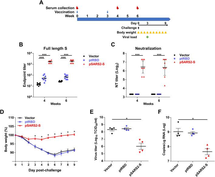 Prophylactic efficacy of SARS-CoV-2 S DNA vaccine in SARS-CoV-2-infected hamsters. (A) Time course of DNA vaccination and SARS-CoV-2 challenge. Syrian hamsters were intramuscularly immunized twice at a 3-week interval with 100 μg of control, pSARS-S or pSARS2-S, followed by electroporation. Serum samples were collected by retroorbital blood sampling at weeks 4 and 6 after the first immunization. At 4 weeks after the second immunization, Syrian hamsters were intranasally challenged with 10 5 TCID 50 SARS-CoV-2. (B) Antibodies against the SARS-CoV-2 full-length spike protein were evaluated by ELISA. (C) Vaccine-induced neutralizing activity against SARS-CoV-2 was evaluated by neutralization assay. (D) Body weight change (%) of the hamsters was recorded every day after SARS-CoV-2 challenge. Virus titers (E) and viral RNA copies (F) in the lungs of SARS-CoV-2-infected hamsters at 3 days postchallenge were determined by TCID 50 assay and qRT-PCR, respectively. Antibody titers are presented as the mean ± SEM, and neutralization titers are expressed as the geometric mean with a 95% confidence interval. *p