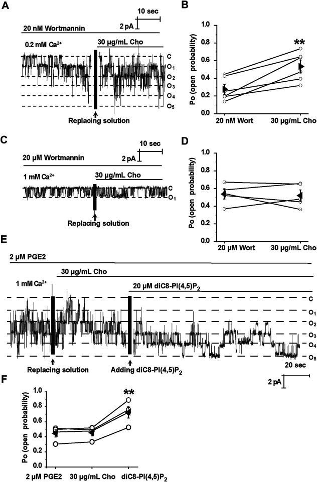 Cholesterol stimulates TRPM4 via a PI(4, 5)P 2 -dependent mechanism. (A) A representative single channel recording shows that treatment of mpkCCD c14 cells with 20 nM wortmannin had no effect on cholesterol-induced TRPM4 channel activity. (B) Summary plots of TRPM4 channel P O under each indicated conditions. n = 6 paired experiments, ** P