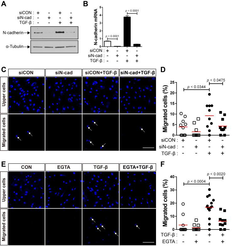 N-cadherin is necessary for TGF-β-mediated migration of bone marrow-derived mesenchymal stem cells (BM-MSCs). (A-B) Western blot analysis of N-cadherin and ɑ-tubulin and qRT-PCR analysis of N-cadherin. BM-MSCs transfected with control siRNA (siCON) or N‐cadherin siRNA (siN‐cad) were treated with TGF‐β (1 ng/mL) for 24 h. Results are presented as mean ± SD. (C-D) Migration of BM-MSCs transfected with each siRNA in response to TGF‐β (10 ng/mL). (E-F) Migration of BM-MSCs pretreated with EGTA for 30 min in response to TGF‐β (10 ng/mL). White arrows indicate DAPI-stained nuclei of migrated BM-MSCs on the lower membrane surface. The red lines indicate the mean values ( n = 2 samples for each group). Scale bars indicate 100 μm.