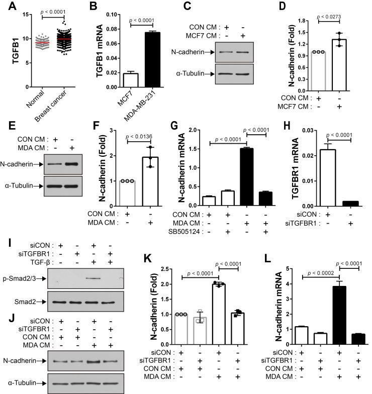 Breast tumor cell-conditioned medium increases the expression of N-cadherin in bone marrow-derived mesenchymal stem cells (BM-MSCs) in a TGF-β-dependent manner. (A) The expression of TGF-β1 ligand in breast cancer compared with that in the normal tissue. The RNA-seq database of human breast cancers from The Cancer Genome Atlas (TCGA) was analyzed. The red lines indicate the mean values. (B) qRT-PCR analysis of TGFB1, a gene of TGF-β1 ligand in MCF7 and MDA-MB-231 cells. (C-D) Western blot analysis of N-cadherin and ɑ-tubulin. BM-MSCs were treated with the control conditioned medium (CON CM) or MCF7 conditioned medium (MCF7 CM) for 24 h. Densitometric analysis of western blot results in (three independent experiments) in (D) . (E-F) Western blot analysis of N-cadherin and ɑ-tubulin. BM-MSCs were treated with CON CM or the MDA-MB-231 conditioned medium (MDA CM) for 24 h. Densitometric analysis of western blot results (three independent experiments) in (F) . (G) qRT-PCR analysis of N-cadherin. BM-MSCs were treated with SB505124 (500 nM) for 30 min prior to treatment with CON CM or MDA CM for 24 h. (H) qRT-PCR analysis of TGFBR1, a gene of TGF-β type 1 receptor in BM-MSCs to verify the knockdown of TGFBR1. (I) Western blot analysis of phosphorylated Smad2/3 (p-Smad2/3) and Smad2. BM-MSCs transfected with control siRNA (siCON) or TGF-β type 1 receptor siRNA (siTGFBR1) were treated with TGF‐β (1 ng/mL) for 30 min. (J-K) Western blot analysis of N-cadherin and ɑ-tubulin. BM-MSCs transfected with each siRNA were treated with CON CM or MDA CM for 24 h. Densitometric analysis of western blot results (three independent experiments) in (K) . (L) qRT-PCR analysis of N-cadherin. BM-MSCs transfected with each siRNA were treated with CON CM or MDA CM for 24 h. Results are presented as the mean ± SD.