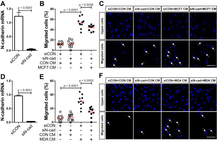 N-cadherin mediates the migration of bone marrow-derived mesenchymal stem cells (BM-MSCs) toward MCF-7 or MDA-MB-231 conditioned medium. (A) Verification of N-cadherin knockdown in BM-MSCs transfected with siRNA that were used in the migration assay with the MCF7 conditioned medium (MCF7 CM). (B-C) Migration of BM-MSCs transfected with each siRNA in response to MCF7 CM. BM-MSCs transfected with control siRNA (siCON) or N-cadherin siRNA (siN-cad) were treated with the control conditioned medium (CON CM) or MCF7 CM for 12 h. (D) Verification of N-cadherin knockdown in BM-MSCs transfected with siRNA that were used in the migration assay with the MDA-MB-231 conditioned medium (MDA CM). (E-F) Migration of BM-MSCs transfected with each siRNA in response to MDA CM. BM-MSCs transfected with each siRNA were treated with CON CM or MDA CM for 12 h. White arrows indicate DAPI-stained nuclei of migrated cells on the lower membrane surface. The red lines indicate the mean values ( n = 2 samples for each group). Scale bars indicate 100 μm.