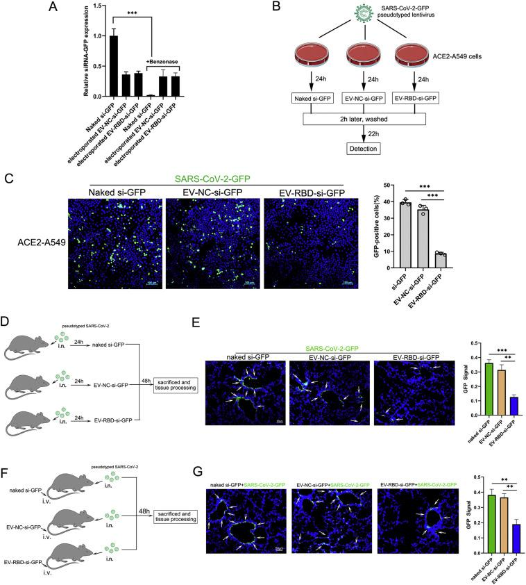 Delivery of siRNAs as a model system to identify inhibition of SARS-CoV-2 pseudovirus infection in vivo . (A) The efficiency of siRNA loading in EVs after electroporation as measured by real-time PCR. Each sample contained mixture of 150 μg siRNA-GFP and 150 μg EVs or 150 μg naked siRNA. After electroporation, purified EVs by ultracentrifugation to remove unencapsulated siRNA and each EV pellet treated with or without Benzonase. All electroporation samples were prepared in triplicate and each RNA isolate was analyzed in duplicate. (B) Scheme of the possibility of loading unmodified or modified EVs with specific siRNA into target cells. (C) Representative images of pseudotyped SARS-CoV-2-GFP-infected ACE2-A549 cells after incubation with different origin of EVs. The ACE2-A549 cells was infected with SARS-CoV-2-GFP for 24 h(MOI = 2), and then incubated for 24 h with naked si-GFP, EV-NC or EV-RBD electroporated with the siRNA, respectively. The GFP ratio was determined by flow cytometric analysis. Data are shown as mean ± SEM of three independent experiments in triplicates. (D) hACE2 mice(n = 4) were inoculated intranasally with pseudotyped SARS-CoV-2-GFP at a multiplicity of infection (MOI) of 50 per 50 μl inoculum volume per mouse. At 24 h post-infection,150 μg RBD-tagged EVs(EV-RBD-si-GFP) or control EVs (EV-NC-si-GFP) loaded with 150 μg GFP siRNA were injected into tail veins, and all mice were sacrificed at 48 h post injection for lung tissues collection.(E) Immunofluorescence staining of mouse lung paraffin sections for pseudotyped SARS-CoV-2-GFP (green, white arrows) and DAPI(blue). (F) Each hACE2 mouse(n = 4) injected with 150 μg RBD-tagged EVs encapsulated GFP siRNA or control EVs in 24 h and later inoculated intranasally with pseudotyped SARS-CoV-2-GFP at MOI of 50. All mice were sacrificed at 48 h post infection for lung tissues collection (G) Immunofluorescence staining analysis for pseudotyped SARS-CoV-2-GFP infected cells in lung paraffin sections (green,