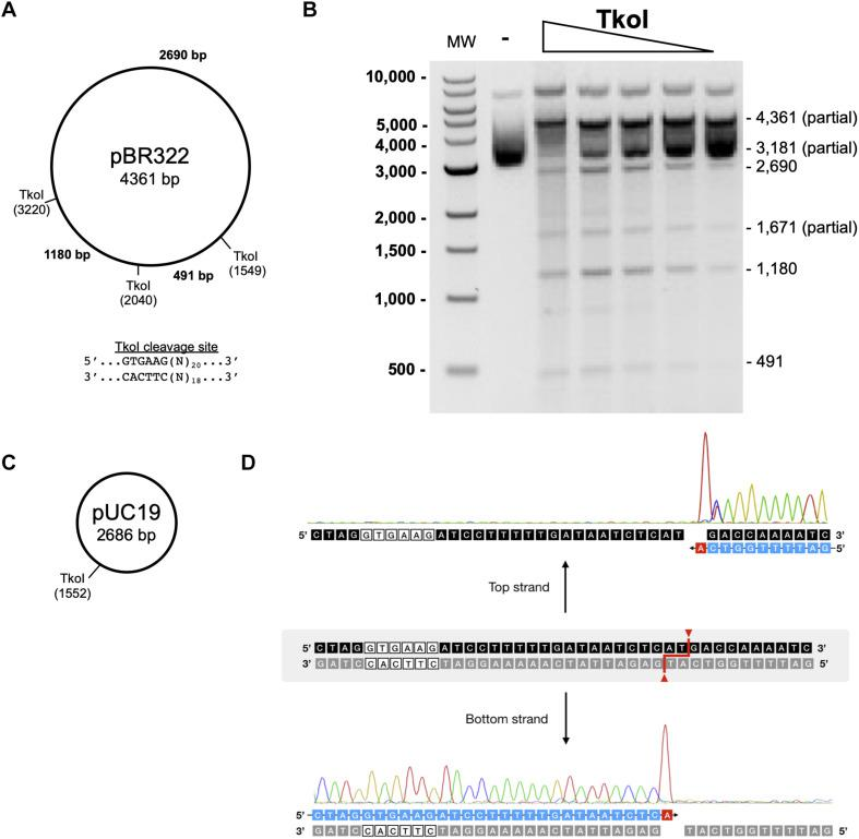 Characterization of TkoI restriction endonuclease activities. (A) Predicted TkoI recognition sites in plasmid pBR322 are at positions 1,549, 2,040, and 3,220. (B) TkoI was incubated with pBR322 in 1X NEBuffer 3 supplemented with SAM and 90mer trans-DNA for 30 min at 65°C. Reactions were halted with Proteinase K and loading dye and separated on a 1% agarose gel. Lane 1 is a 1 kb DNA ladder. Lane 2 is pBR322 alone and lanes 3–7 are decreasing amounts of TkoI (400–25 nM). (C) TkoI cleaves pUC19 at a single site. (D) pUC19/TkoI cut fragments were analyzed by run off sequencing to determine TkoI cut sites on the top and bottom strands: GTGAAG(N) 20 /(N) 18 .