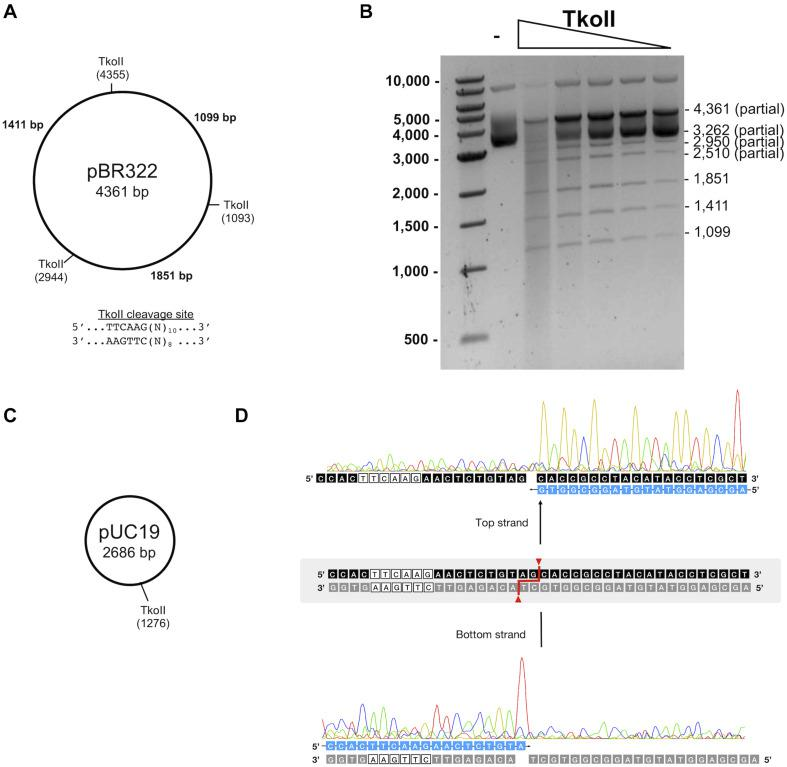 Characterization of TkoII restriction endonuclease activities. (A) Predicted TkoII recognition sites in plasmid pBR322 are at positions 1093, 2944 and 4355. (B) TkoII was incubated with pBR322 in 1X NEBuffer 1 supplemented with SAM and 90mer trans-DNA for 30 min at 65°C. Reactions were halted with Proteinase K and loading dye and separated on a 1% agarose gel. Lane 1 is a 1 kb DNA ladder. Lane 2 is pBR322 alone and lanes 3–7 are decreasing amounts of TkoII (10–0.62 nM). (C) TkoII cleaves pUC19 at a single site. (D) pUC19/TkoII cut fragments were analyzed by run off sequencing to determine TkoII cut sites on the top and bottom strands: TTCAAG(N) 10 /(N) 8 .