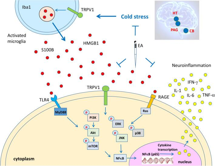 TRPV1 and related molecular pathways in the mouse brain