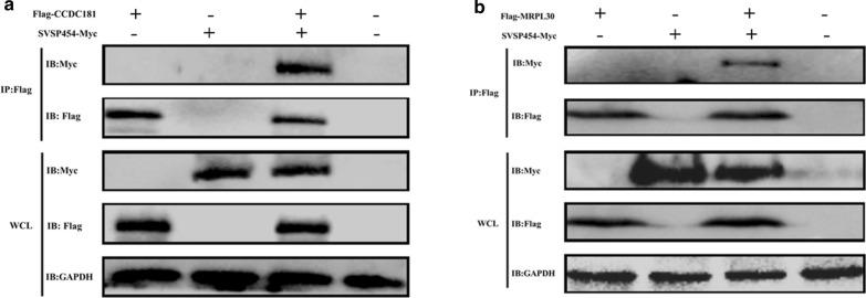 SVSP454 interacts with both CCDC181 and MRPL30. Coimmunoprecipitation (Co-IP) and immunoblotting (IB) identification of HEK293T cells expressing SVSP454-MYC (10 µg) and its potential interacting protein FLAG-tagged CCDC181 (10 µg) ( a ) and SVSP454-MYC (10 µg) along with FLAG-tagged MRPL30 (10 µg) ( b ). WCL represents IB analysis of whole HEK293T cell lysates without IP