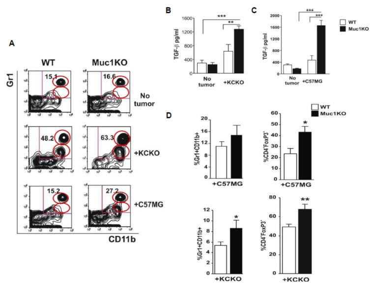 Cancer bearing MUC1KO mice have higher frequency of MDSCs creating a more immune suppressive environment. ( A ) Splenocytes from healthy and tumor bearing WT and Muc1KO mice were isolated and labeled with anti Gr1-APC and CD11b-PECy7 antibodies. Representative contour plots of Gr1 + CD11b + cells from three separate experiments are shown; the MDSC subsets were obtained by gating on high SSC and high FSC cells using an isotype control antibody and further on high Gr1 + and low Gr1 + CD11b + cells. The red circles represent the percent depicted on the right top quadrant for each of the groups. ( B , C ) Levels of TGF-β was measured in the serum of healthy and cancer bearing WT and MUC1KO mice using ELISA kits. ( D ) Levels of MDSCs and CD4 + FoxP3 + cells were measured in the tumor of WT and MUC1KO mice using flow cytometry. High SSC and FSC was gated for the lymphocyte population, then CD4 + T cells were gated on the lymphocyte population, and the CD25 + FoxP3 + double positive cells were gated on the CD4 + T cell population. Welch's t -test was used to compare between WT and MUC1KO groups and p