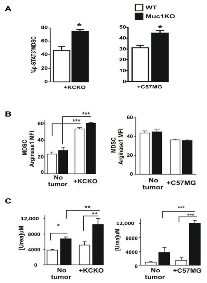 Phenotypic characterization of MDSCs in the BM of healthy and tumor bearing WT and Muc1KO mice. ( A ) Splenocytes from tumor bearing WT and MUC1KO mice were isolated and labeled with antibodies against Gr1, CD11b, and pSTAT3. pSTAT3 + cells were determined on Gr1 + CD11b + gated cells. ( B ) MFI values of Arginase-1 expression in MDSCs of WT and MUC1KO mice was measured via flow cytometry. Arg-1 + cells were determined on Gr1 + CD11b + BM gated cells. ( C ) Arginase-1 activity on sorted MDSCs was measured using a urea assay. Welch's t -test was used to compare between WT and MUC1KO groups and p