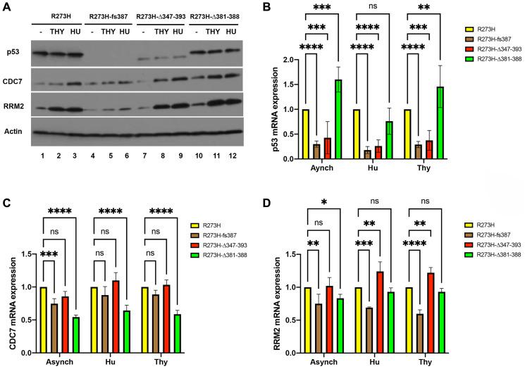 Correlation of mtp53 variants protein and mRNA abundance with RRM2 and CDC7 in MDA-MB-468 CRISPR-Cas9 generated mtp53 cell lines. ( A – D ) The relative protein and mRNA abundance of TP53 , RRM2 and CDC7 was examined within asynchronous (lanes labeled (–)) and G1/S synchronized cell populations of parental MDA-MB-468 mtp53 R273H and CRISPR-generated mtp53 R273H fs 387, mtp53 R273HΔ347-393, and mtp53 R273HΔ381-388 by western blot analysis of total cell lysates (A), and quantitative RT-PCR analysis of mRNA B–D) prepared from each cell population. (B–D) Represent data for three independent biological replicates. A two-way anova with Dunnett's multiple comparison was performed and the level of significance set at * P ≤ 0.05; ** P ≤ 0.01; **** P ≤ 0.0001; ns, not significant. Sub-confluent cultures (~ 50% confluent) of each cell line were synchronized at G1/S by treatment of cell populations with either 2 mM thymidine (Thy) or 2 mM hydroxyurea (HU) for 24 hours, harvested and then processed for flow cytometry (Supplementary Figure 2) and the aforementioned analyses above as described in
