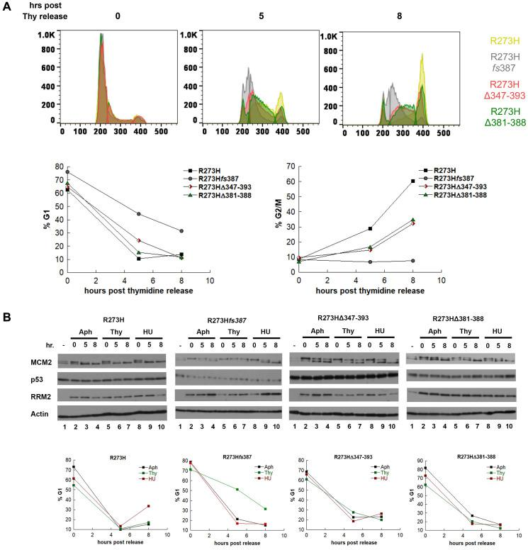 MDA-MB-468 CRISPR-Cas9 generated mtp53 variant-expressing cells display thymidine sensitivity characterized by slow progression through S-phase. ( A ) The kinetics of S-phase progression of parental and CRISPR variant cell lines parental MDA-MB-468 mtp53 R273H and CRISPR-generated mtp53 R273H fs 387, mtp53 R273HΔ347-393, and mtp53 R273HΔ381-388 were compared post synchronization of 50% confluent cultures of each with 2 mM thymidine. At time points 0, 5, and 8 hours post release from the Thy block, cell populations from each cell line were harvested simultaneously and the cell cycle distribution of PI-stained cells was determined by flow cytometry. The distribution of cells within the G1, S, and G2/M phases at each time point is represented in the super-imposed histograms of mtp53 R273H cells (yellow), mtp53-depleted cells R273H fs 387 (gray), mtp53 R273HΔ347-393 cells (red), and mtp53 R273HΔ381-388 (green), with the percentage of G1 and G2/M cells at each time points for each cell line presented in the graphs on the right. ( B ) The abundance of the p53, MCM2 and RRM2 proteins were examined in extracts from asynchronous (–) and G1/S synchronized cell populations harvested 0, 5, and 8 hours post release from a 24 incubation with the cell cycle inhibitors aphidicolin (Aph), Thymidine (Thy), or hydroxyurea (HU). Parental MDA-MB-468 mtp53 R273H and CRISPR-generated mtp53 variants cell lines mtp53-depleted R273H fs 387 cells, mtp53 R273HΔ347-393 cells, and mtp53 R273HΔ381-388 cells, were cultured to 50% confluency before addition of either 5 μM Aph, 2 mM Thy, or 2 mM HU, and at the above time points cell populations were harvested and processed for either cell cycle analysis by flow cytometry, or western blotting. The distribution of cells within G1, S, and G2 based on propidium iodine (PI) staining was determined as described in