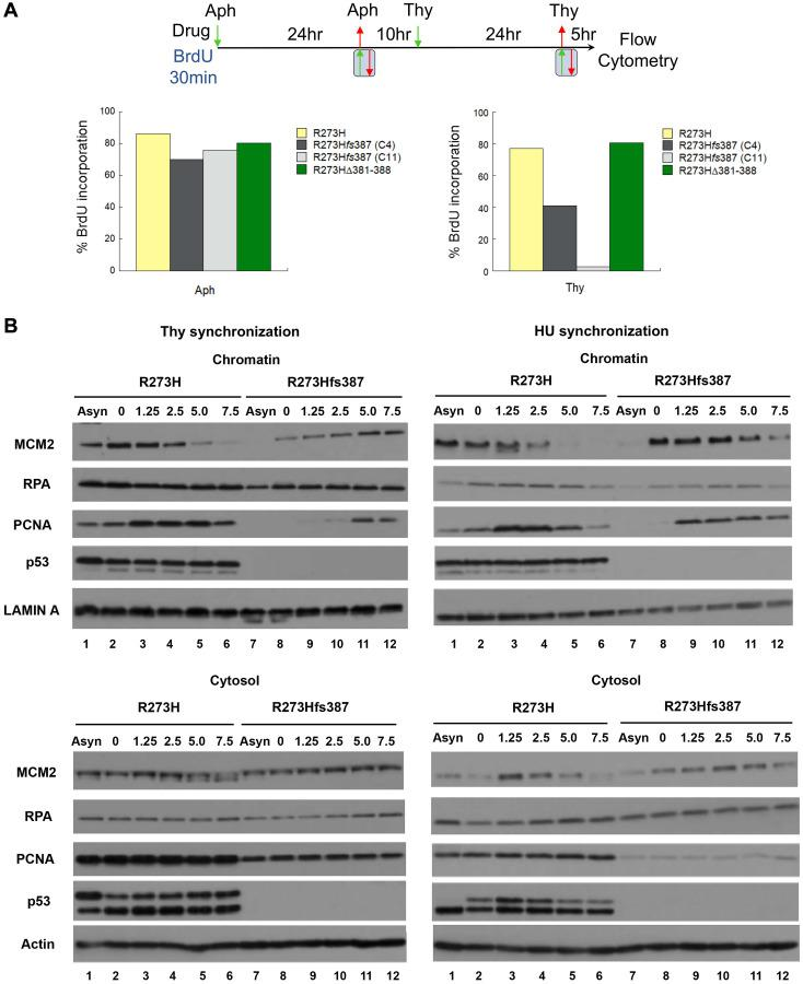 Defective DNA replication underscores the thymidine sensitivity of MDA-MB-468 CRISPR-Cas9 generated mtp53-depleted cells. ( A ) A direct assessment of the S-phase population was determined using flow cytometry by measuring the percentage of parental MDA-MB-468 mtp53 R273H and CRISPR-generated mtp53 variant mtp53-depleted C4 and C11 R273H fs 387, and mtp53 R273HΔ381-388 cells that incorporate BrdU 5 hours post release from a double Aph-Thy block. After the first synchronization at G1/S with aphidicolin, all cell populations were released into the cell cycle for 10 hours (a period sufficient for bulk genome duplication) before initiation of the second block with thymidine. Following release from either the first or second block, cells were pulse-labeled with BrdU for 30 min and then harvested either immediately thereafter in the case of samples released from a single Aph-block, or after 5 hours in the case of double-block samples labeled post-release from the Thy-block. Histograms represent the percentage of cells within each population that incorporated BrdU. ( B ) Assembly of DNA replication factors onto chromosomes of parental MDA-MB-468 mtp53 R273H and CRISPR-generated mtp53 mtp53-depleted R273H fs 387 cells during S-phase was measured using the chromatin fractionation assay. Cytosolic and chromatin fractions were prepared as described in