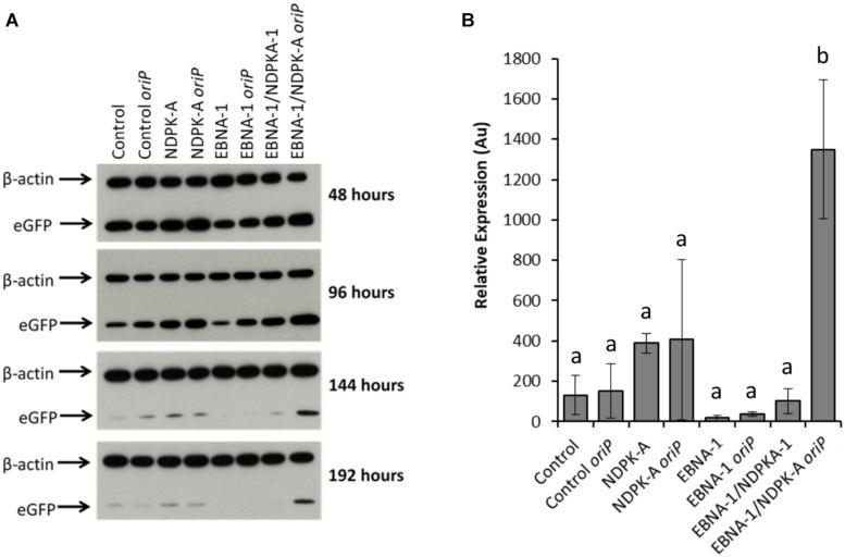 """Analysis of Lonza CHOK1SV GS-KO cells engineered to overexpress NDPK-A, express EBNA-1 or both (control pools were generated using an empty construct) post-transfection with eGFP containing vectors. (A) Shows western blot analysis of transient cultures transfected with a vector containing eGFP alone or an eGFP /oriP vector (denoted by """"oriP """" on the figure). (B) Shows relative eGFP abundance from lysates of transient cultures (described above) harvested at 192 h post-transfection. Densitometry analysis was carried out using ImageJ on western blots run in biological triplicate where β-actin was used as a loading control for normalisation. A one way ANOVA test followed by post hoc Tukey test was carried out on densitometry data. Conditions which do not share a letter are statistically different at the 95% confidence level. Error bars show ± one standard deviation. All experiments were carried out in biological triplicate ( n = 3)."""