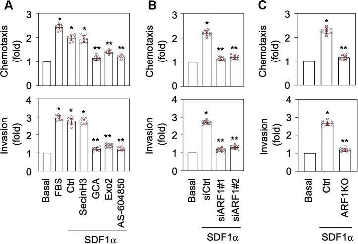 Inhibition and depletion of ARF1 suppress PC3 migration and invasion induced by SDF1α. A , inhibition of PC3 migration and invasion by ARF1 and PI3Kγ inhibitors as measured in transwell assays. PC3 cells were treated with SDF1α at 1 μg/ml together with secinH3 (100 μM), GCA (30 μM), Exo2 (60 μM), or AA-604850 (2.5 μM) for 48 h. Stimulation with FBS at 10% was used as a positive control. B , inhibition of PC3 migration and invasion by siRNA-mediated ARF1 knockdown. PC3 cells were transfected with control or ARF1 siRNA and then treated with SDF1α for 48 h. C , inhibition of PC3 migration and invasion by CRISPR–Cas9-mediated depletion of ARF1. PC3 cells were transfected with control or ARF1 knockout plasmids and then treated with SDF1α for 48 h. The quantitative data are presented as means ± SD (n = 10). ∗ and ∗∗ p