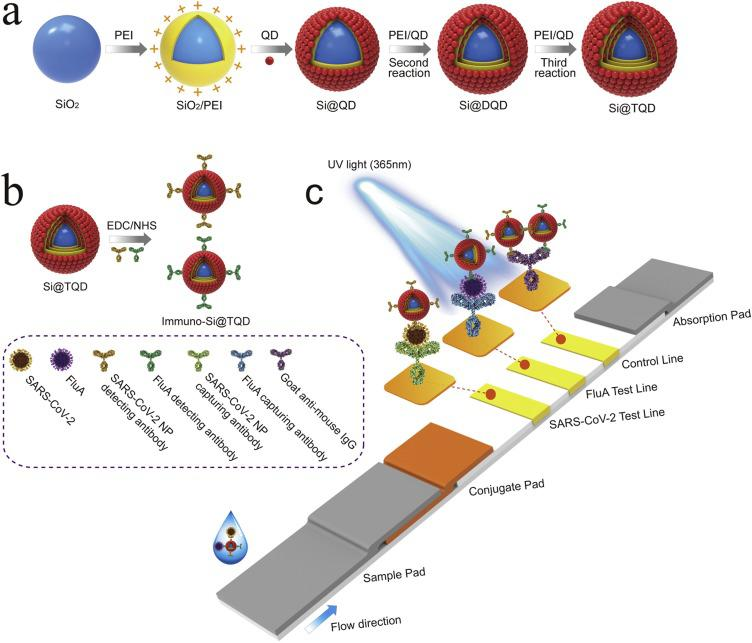 Fabrication of SiTQD probes and their application to ICA-based biosensor for simultaneous detection of SARS-CoV-2 and FluA. (a) Synthesis of SiTQD nanocomposite, (b) preparation of immuno-SiTQD probes, and (c) operating principle of SiTQD-ICA strip for detecting two target respiratory viruses.