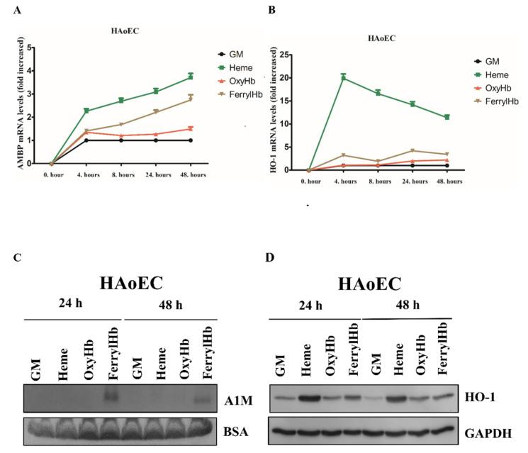 A1M expression is induced in human aortic endothelial cells (HAoECs). HAoECs were exposed to heme (10 µM), OxyHb (10 µM), or FerrylHb (10 µM) in the presence of 5% foetal calf serum. A1M ( A ) and HO-1 ( B ) mRNA expression was quantified by qPCR after 4, 8, 24 and 48 h. ( C ) Secreted A1M protein was detected by immunoblotting in cell culture supernatants, while HO-1 protein level ( D ) was examined in cell lysates after 24 and 48 h. GM: growth medium, BSA: bovine serum albumin, GAPDH: glyceraldehyde 3-phosphate dehydrogenase.